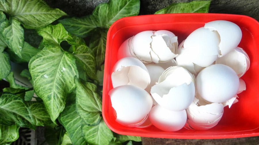 Casca de ovo como adubo