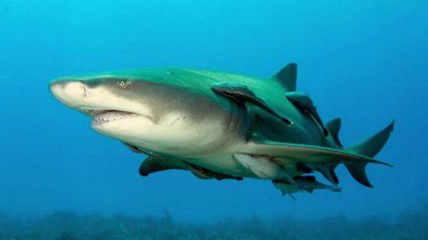 Ovo de tubarão
